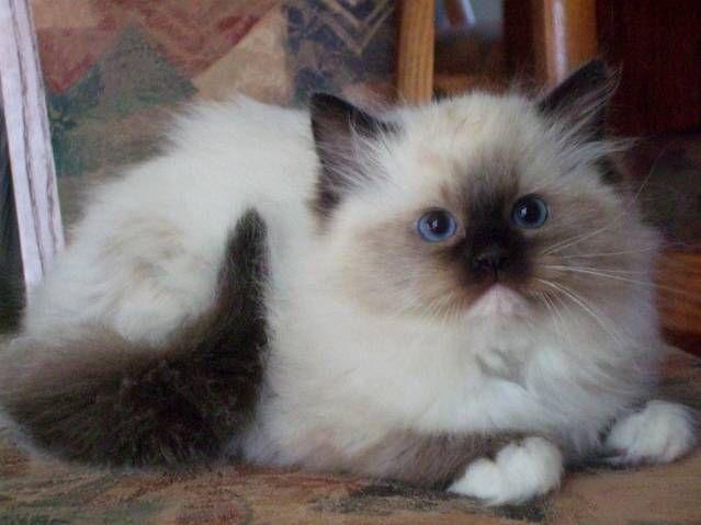 Cute Baby Ragdo... Persian Cat Wallpaper