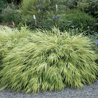 A Golden Hakone Grass with red blooms and green-striped yellow leaves that turn red in fall.