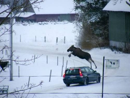 sweden in a nutshell: moose jumping over a volvo