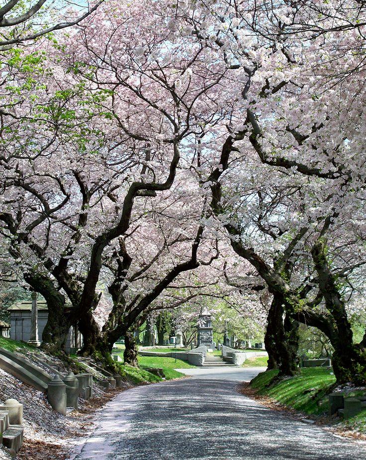 Somei-Yoshino Cherry Trees (Prunus x yedoensis) (by Viridia)