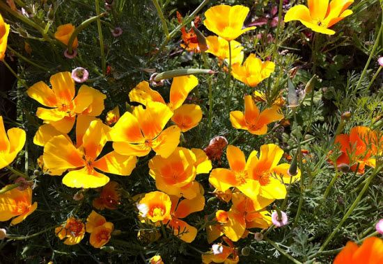 Goldmohn, Kalifornischer Mohn ( Eschscholzia californica )