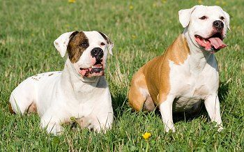 """Frankly, most American Bulldogs are """"too much dog"""" for the average household. Very few people really have the knowledge or skills necessary to manage this breed, or to provide the types of activities that keep him satisfied."""