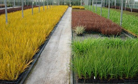 British gardens at risk from drought-resistant grasses set to ...