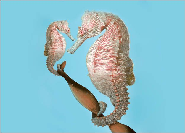 Male seahorses are monogamous and they are the ones that carry the babies... this is a  pregnant male seahorse and he wife.