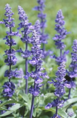 How to Keep Spiders Away With Lavender | eHow.com