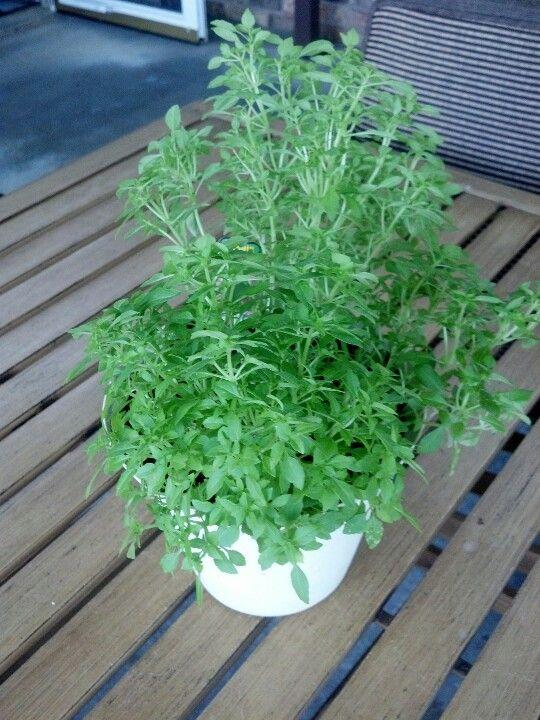 Basil (any kind) on your patio will help keep flies away