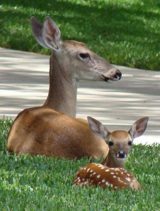 Real Life Bambi! | White Tail Deer | Pinterest | Beautiful ...