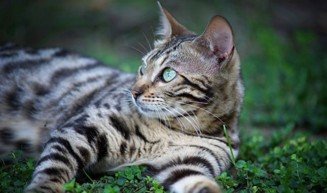 Everything You Want To Know About Bengals Including Grooming