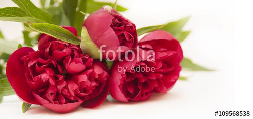 """Download the royalty-free photo """"dark red peony isolated on white background"""" created by stillforstyle at the lowest price on Fotolia.com. Browse our cheap image bank online to find the perfect stock photo for your marketing projects!"""