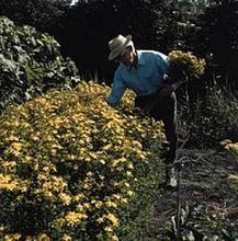 Herb Seeds - St Johns Wort Seeds