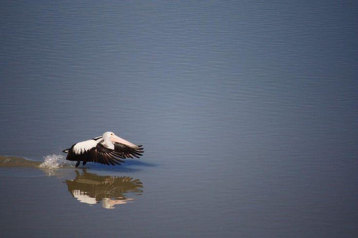 Pelican - Murray River 2013 - Digital Photography