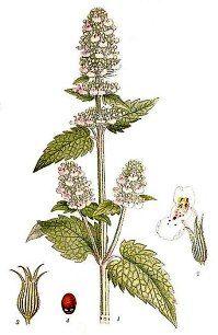 Catnip Plant in Flower #Catnip - Catsincare.com