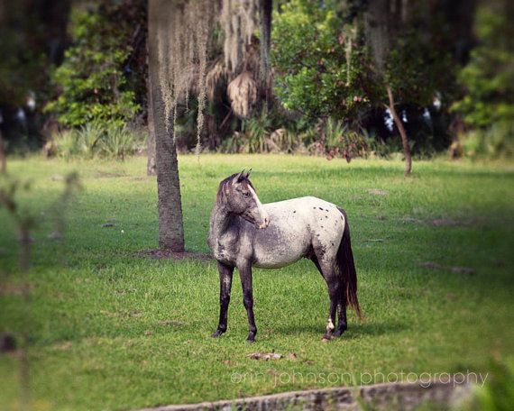 wild horse photography - cumberland island georgia - animal photograph - nature - green home decor - grey horse - Turned Away    Please choose your