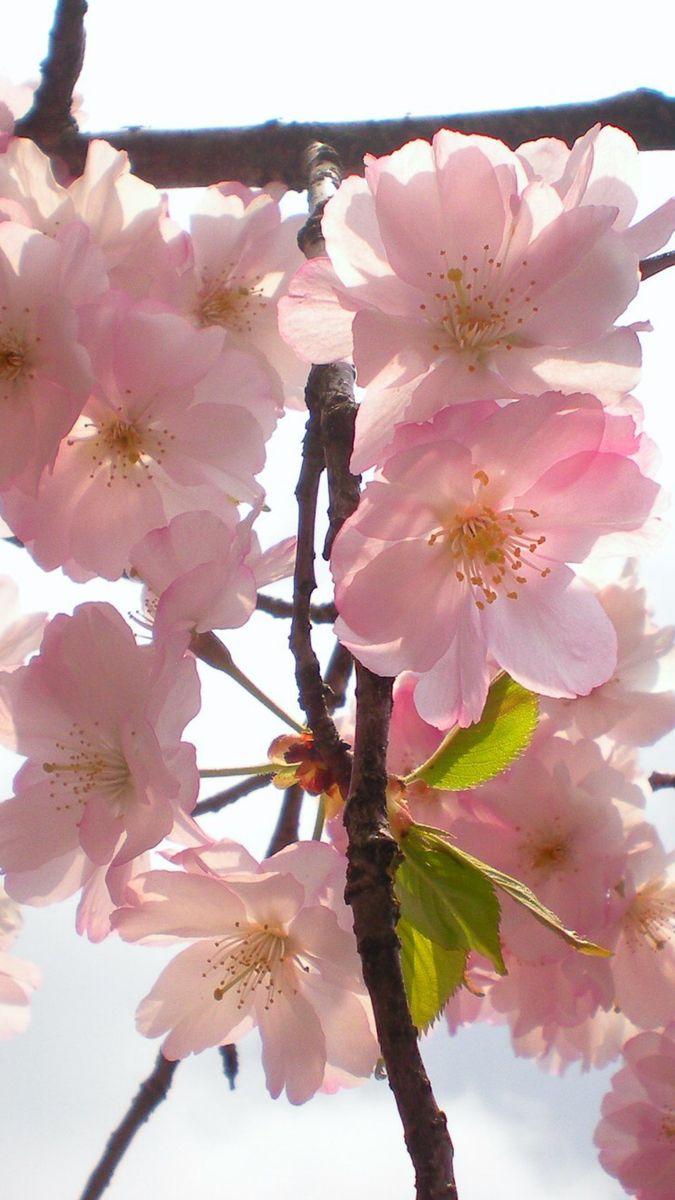 Cherry Blossom Branch Wholesale Flowers Cherry Blossom Flowers Cherry Blossom Branch
