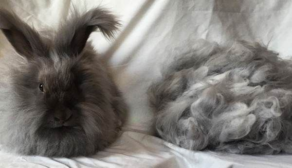 Best 25 Angora Rabbit Ideas On Pinterest Fluffy Bunny