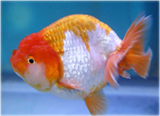 Goldfish for sale ranchu goldfish for sale goldfish for Koi fish eggs for sale