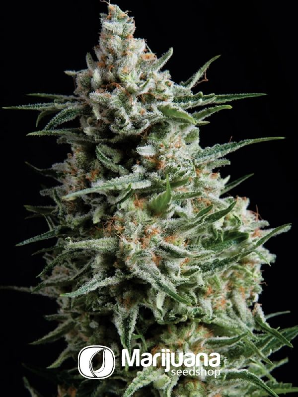 Buy Super Skunk Feminized seeds online at the Marijuana Seedshop. Yield up to 450 grams a square meter! Super Skunk Feminized marijuana seeds are 65% Indica and 35% Sativa. Super Skunk Feminized buds will have eventually 15% THC and 1.08% CBD. These Super Skunk Feminized seeds has a flowering time of 8 weeks.