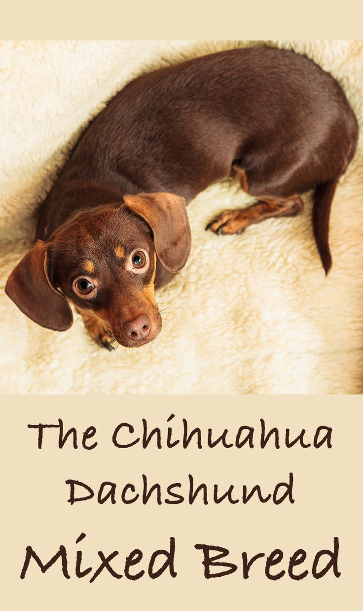 Chiweenie Your Tiny Chihuahua Dachshund Mix Dachshund Mix