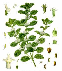 White Horehound Herb - Side Effects and Health Benefits