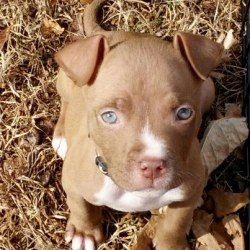 Cocoa is an adoptable Pit Bull Terrier Dog in Fort Mill, SC. Cocoa is a sweet 9 week old chocolate American Pit Bull Terrier with gorgeous blue eyes.  She is spayed, microchipped, and up to date on ag...