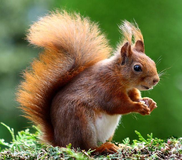 ¿Te has preguntado que comen las ardillas exactamente? Curiosamente, estas criaturas son conocidas por comer una gran variedad de alimentos, son omnívoras.