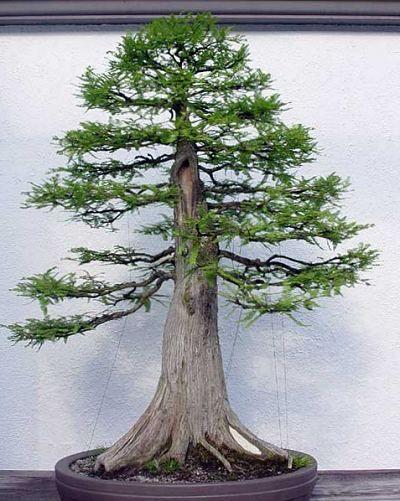 Bald Cypress BonsaiBonsai Trees, Pine Bonsai, Bonsai 盆栽, Bonsai Empire, Taxodium Distichum Bald, Cypress Bonsai, Distichum Bald Cypress, Trees Fascinationbonsai, Bonsai Beautiful