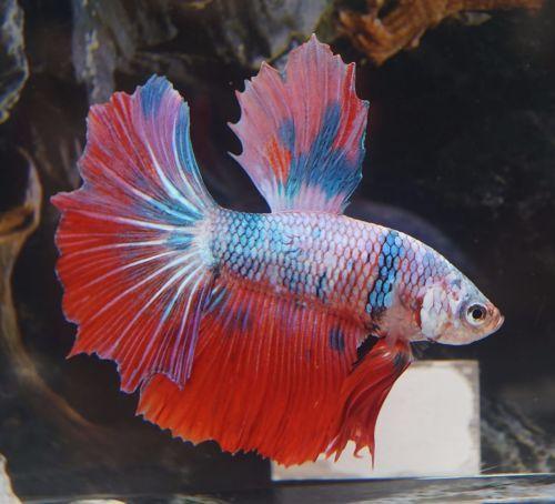 222 best images about betta fish on pinterest betta tank for Betta fish information
