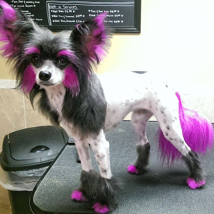 Chinese Crested Haircut Image Collections Haircuts For Men And Women