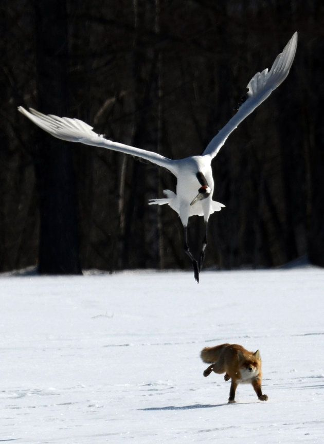 """A red fox is chased by a """"Red crowned crane"""" in the village of Tsurui on the island of Hokkaido, north Japan"""