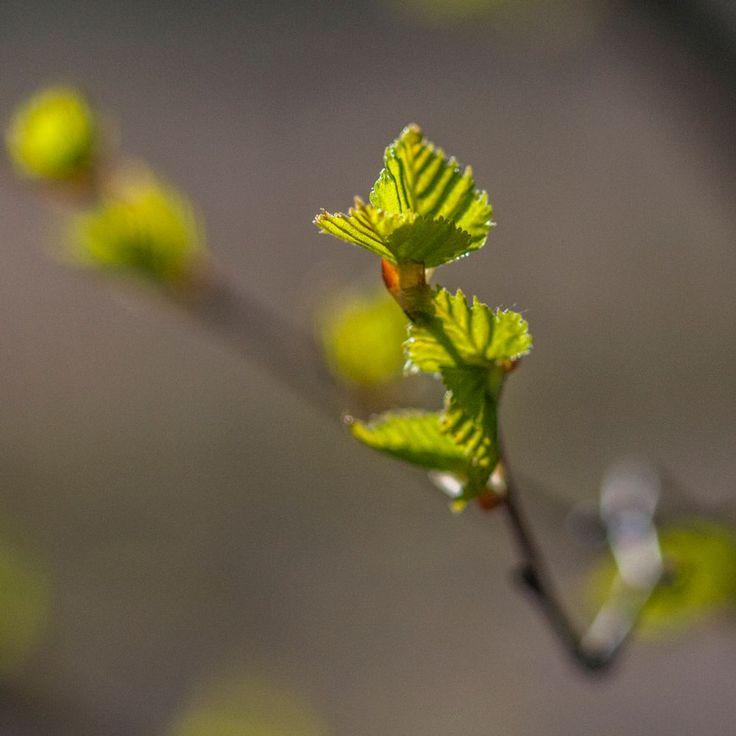 Budding New Growth - Uutta kasvua pukkaa by Pauliina Kuikka and Arto Lehikoinen Photography