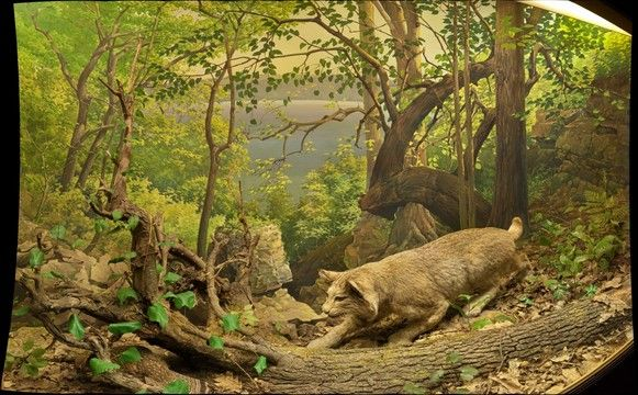 36 Best Images About Bobcat Diorama On Pinterest Museums