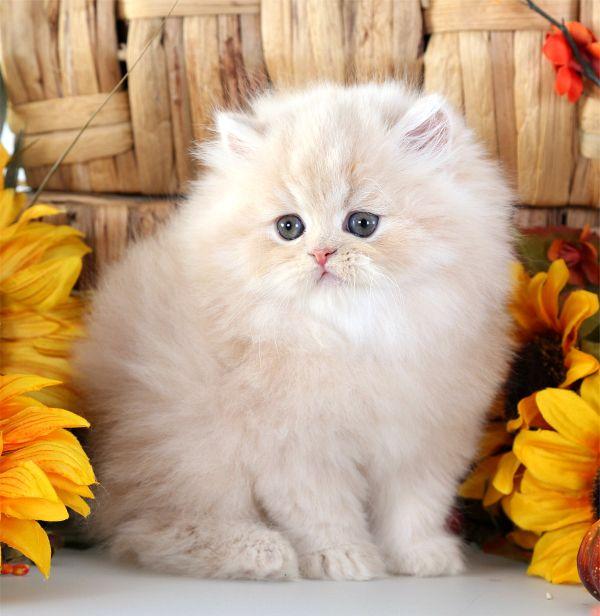 Cream Persian Kitten
