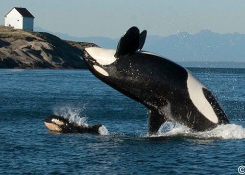 orcas single girls Killer whales (or orcas)  alaska, a 12-year-old boy named ellis miller was bumped in the shoulder by a 25-foot transient killer whale.