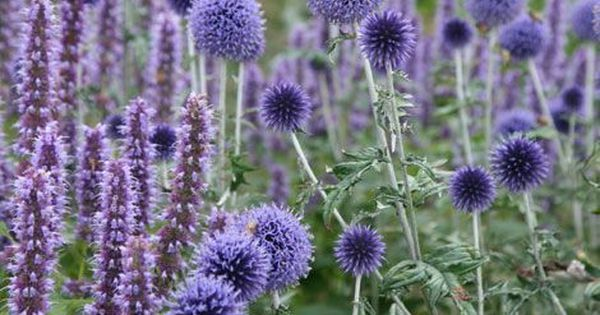 Echinops ritro 'Veitch's Blue' - A wonderfully spiky tall summer flowering perennial, with blue spherical blooms, resembling a mace in form. Best g…   Pinterest