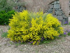 Andorra Broom (Cytisus purgans 'Spanish Gold'), in summer following bloom.  Spanish gold is a rounded, dense subalpine shrub from the mountains of Spain. It is hardy to zone 4a and up to 8,000 feet. This plant tolerates a wide range of soil (loam, clay loam or grvelly) and moisture conditions. Prefers full sun to partial shade. It will grow to 4 feet in height and 6 feet in spread.