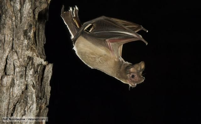 Mexican free-tailed bat. Photo by Rolf Nussbaumer.