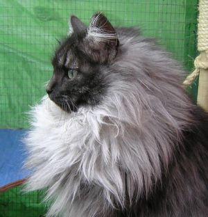 Smoke Cat | example of a black smoke she has had some lovely black smoke kittens