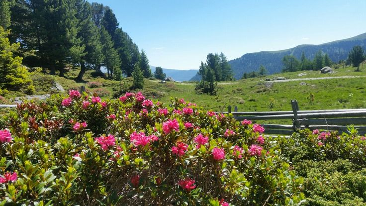 Almrauschblüte auf der NOCKALMSTRASSE im Biosphärenpark Nockberge - kostenfrei mit der inkludierten Kärnten Card 😆