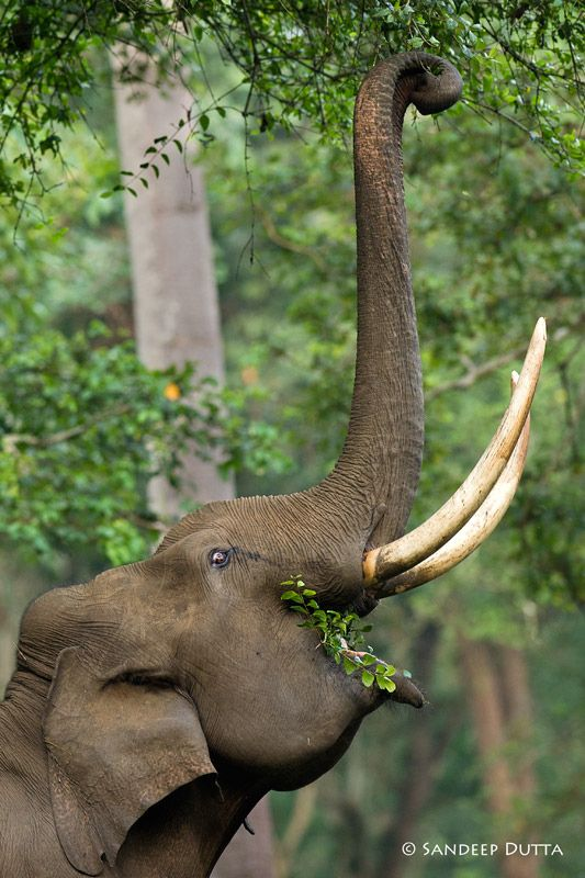 Elephant   Every 15 Minutes we lose another elephant to poaching for Ivory. When you like, share, pin from IvoryForElephants we gain media $$$ to help save them. #stoppoaching #elephants for #ivory #animals #extinction #tusks