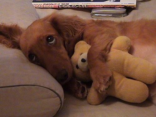don't take away my bear.: Sweet, Best Friends, Beds, Puppys Eye, Puppys Dogs Eye, Dachshund, Teddy Bears, Dogs Lovers, Animal