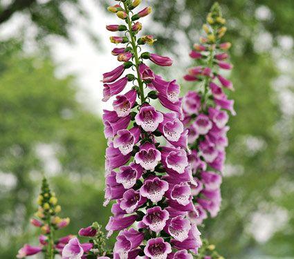 Common Garden Flowers Pink best 20+ digitalis plant ideas on pinterest | pink garden, unique