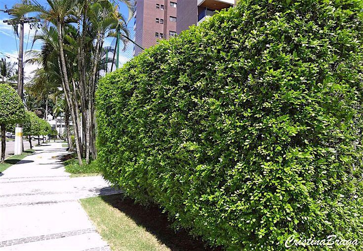 Murta de cheiro – Murraya paniculata - Arbusto com folhas pinadas, flores branca ou branca-creme, muito perfumadas ...