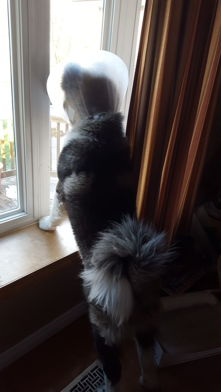Who's that doggy looking out the window? #hachiko #akita 🐶