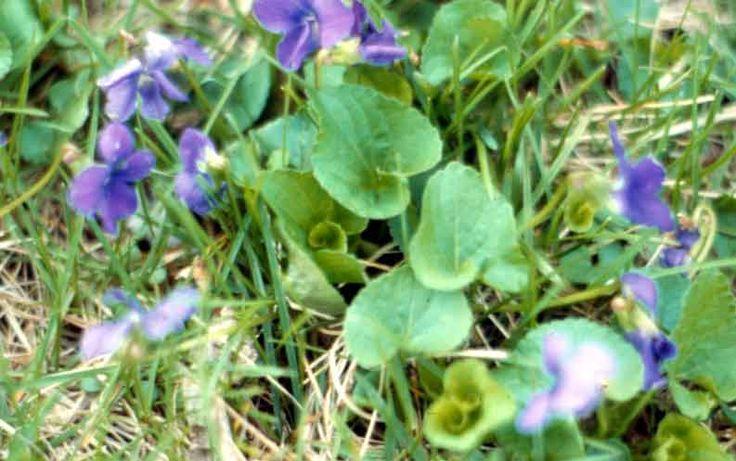 weed identification garden yard pinterest purple