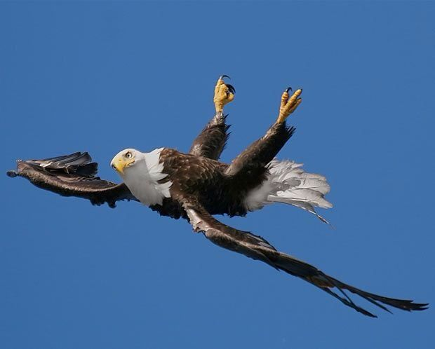 A bald eagle flips upside down mid air! The odd maneuver was captured on camera by Pam Mullins close to her home in Prince Rupert, British Columbia.
