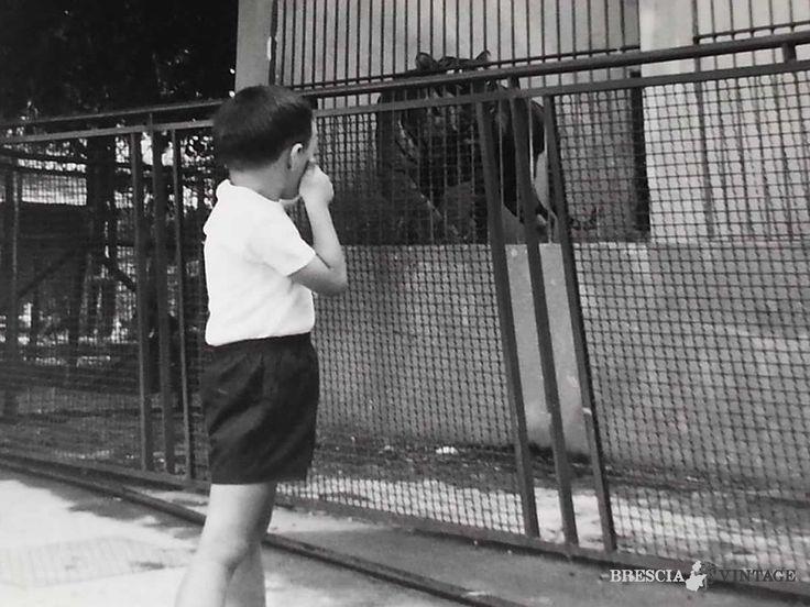La tigre dello zoo di Brescia - 1970 http://www.bresciavintage.it/brescia-antica/fotografie-d-autore/la-tigre-dello-zoo-di-brescia-1970/