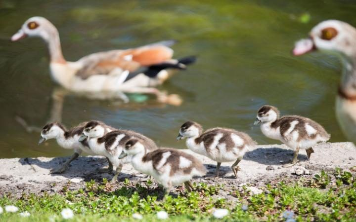 Ducklings enjoying the sunaround Regent Park in Central london as warm weather hits the country.