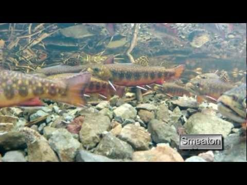 """""""The Brook Of Life""""...Experience the underwater world of the Newfoundland Brook Trout during spawning season... you may be surprised at how aggressive this little fish can be..."""