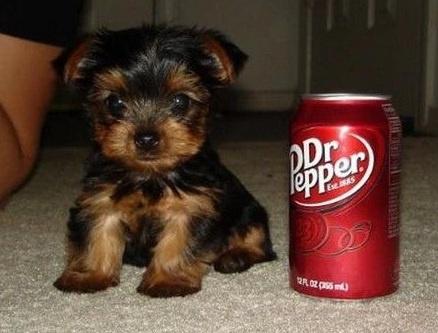 TEACUP YORKIE TERRIER + DR.PEPPER = PARIDISE   MY FURTURE DOG!!!!!!!!!!!!!!!!! :)