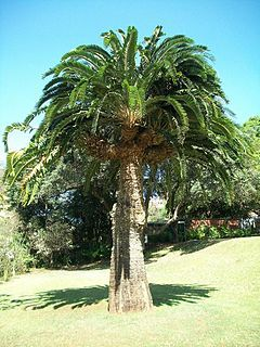 Wood's Cycad (Encephalartos woodii) is a cycad in the genus Encephalartos, and is endemic to the Ongoye Forest of KwaZulu-Natal, South Africa. It is one of the rarest plants in the world, being extinct in the wild with all specimens being clones of the type. The specific and common name both honour John Medley Wood, curator of the Durban Botanic Garden and director of the Natal Government Herbarium of South Africa, who discovered the specimen in 1895.